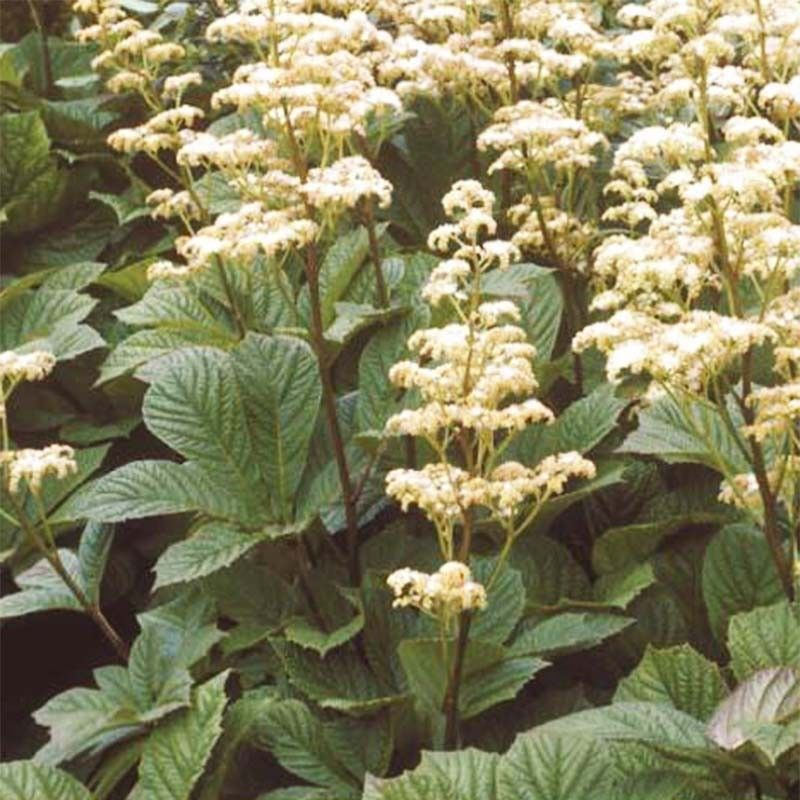 Rodgersia Aesculifolia Irish Bronze