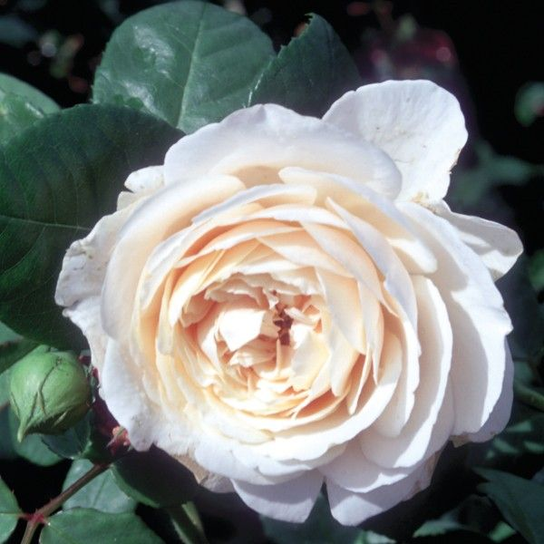 Rosier ancien Fragrant old white