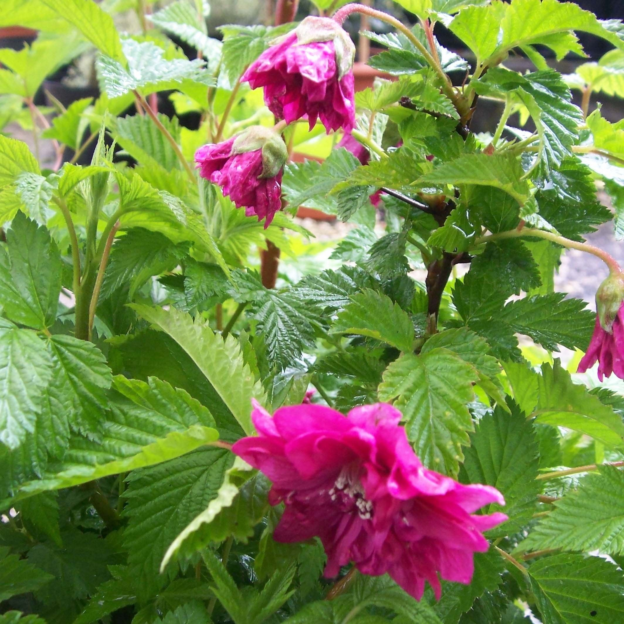 Rubus spectabilis Olympic Double - Ronce d'ornement