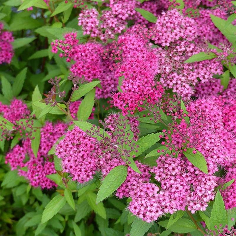 Spiraea Japonica Anthony Waterer Spiree Japonaise A Fleurs Rose Sombre