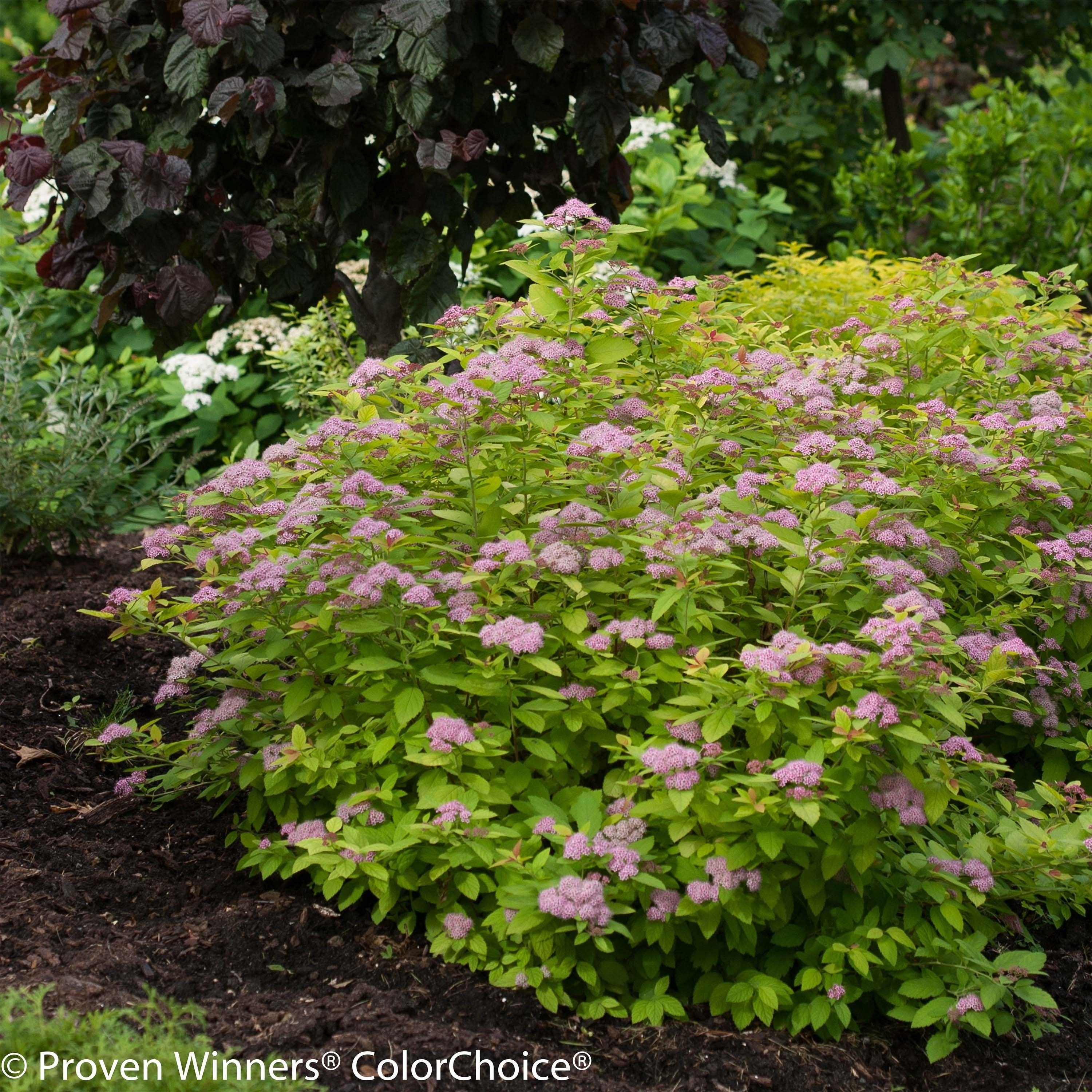 Spiraea Japonica Double Play Big Bang Tracy Spiree A Fleurs Rose Fonce