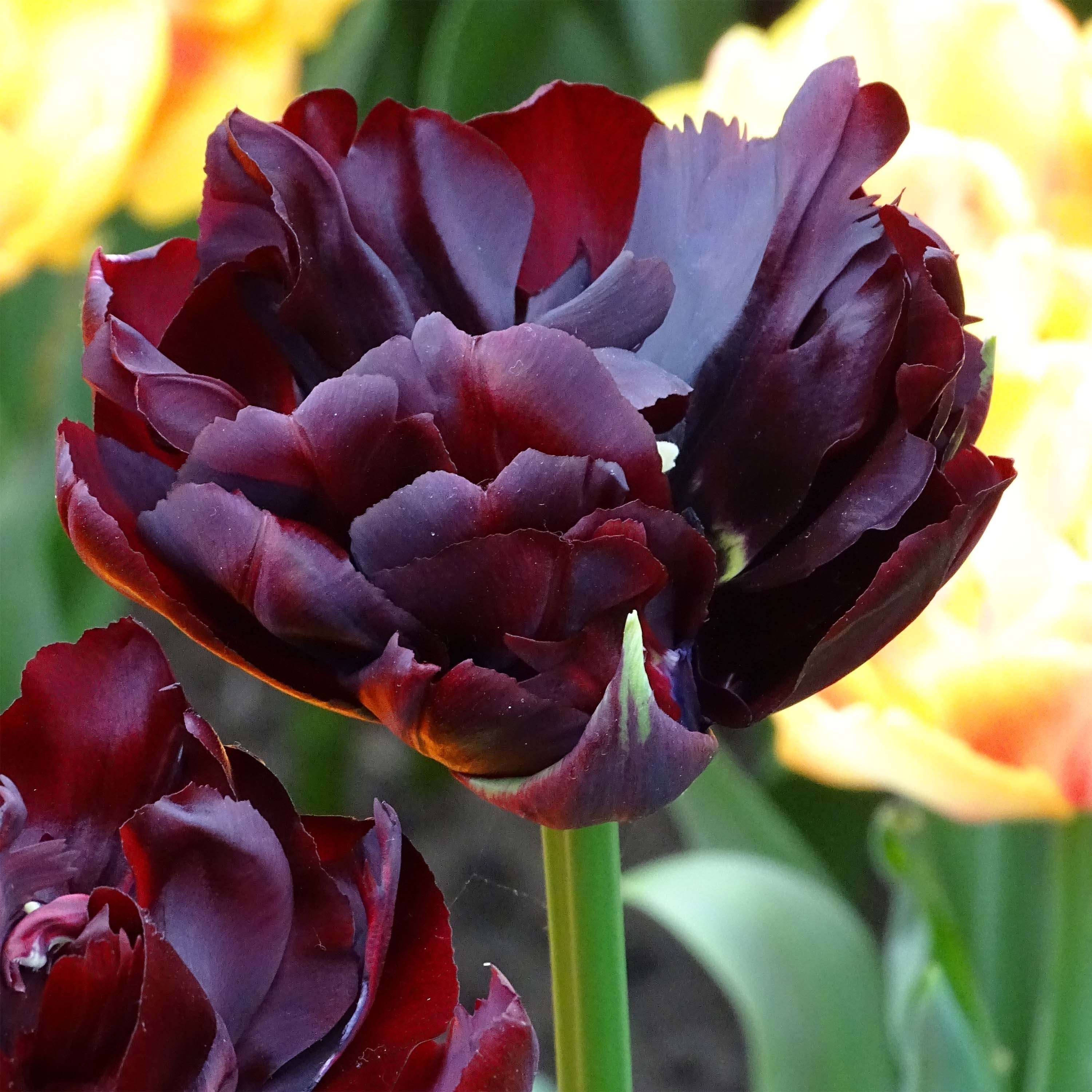 Tulipe double hative Palmyra