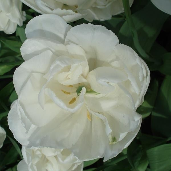 Tulipe Double White Heart