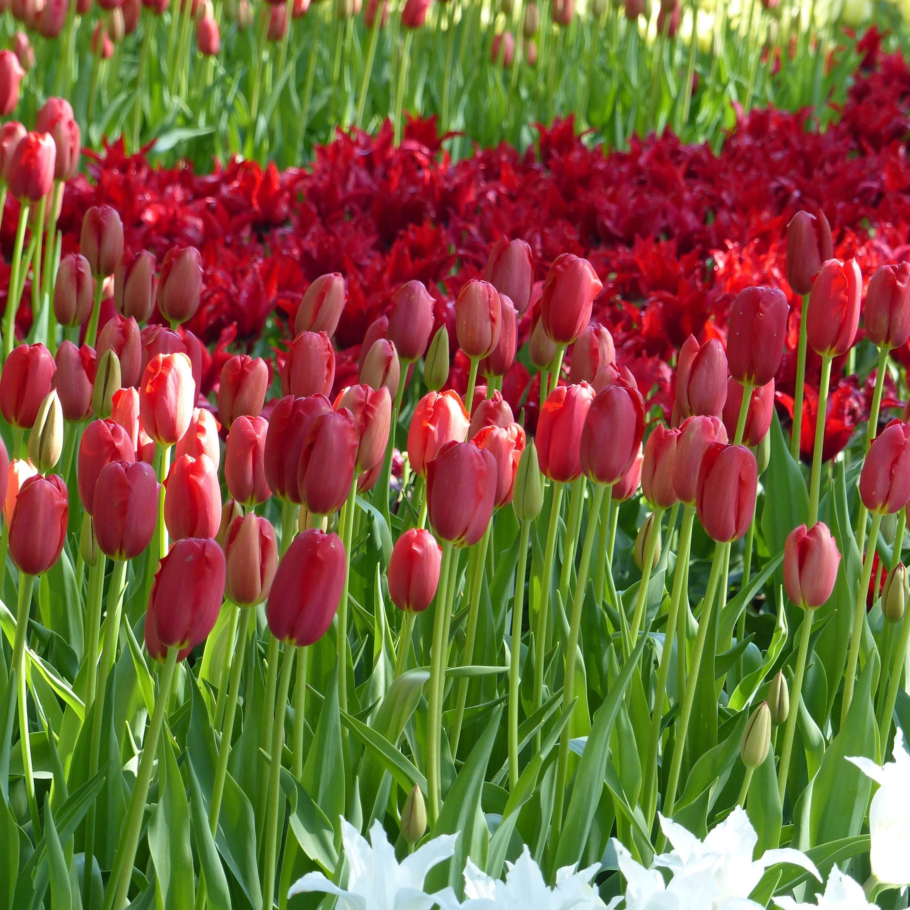 Tulipe simple tardive Sky High Scarlet