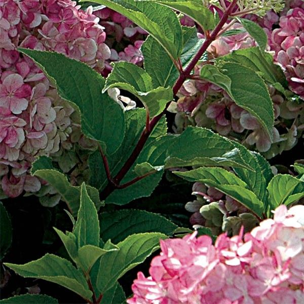 hydrangea paniculata vanille fraise hortensia panicules rose et blanc. Black Bedroom Furniture Sets. Home Design Ideas