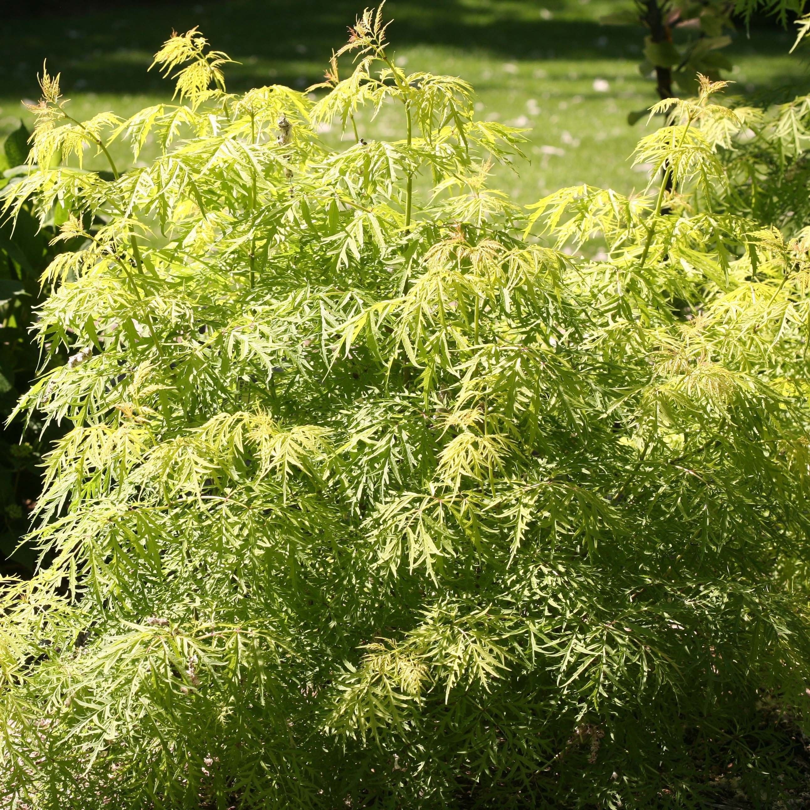 sambucus racemosa lemony lace sureau grappes feuillage citron. Black Bedroom Furniture Sets. Home Design Ideas