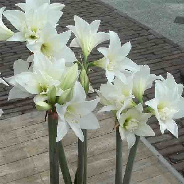 Amaryllis jewel hippeastrum jewel for Amaryllis gel
