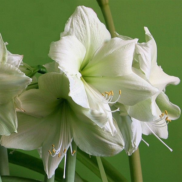 Amaryllis luna hippeastrum bulbeuse floraison simple for Amaryllis gel
