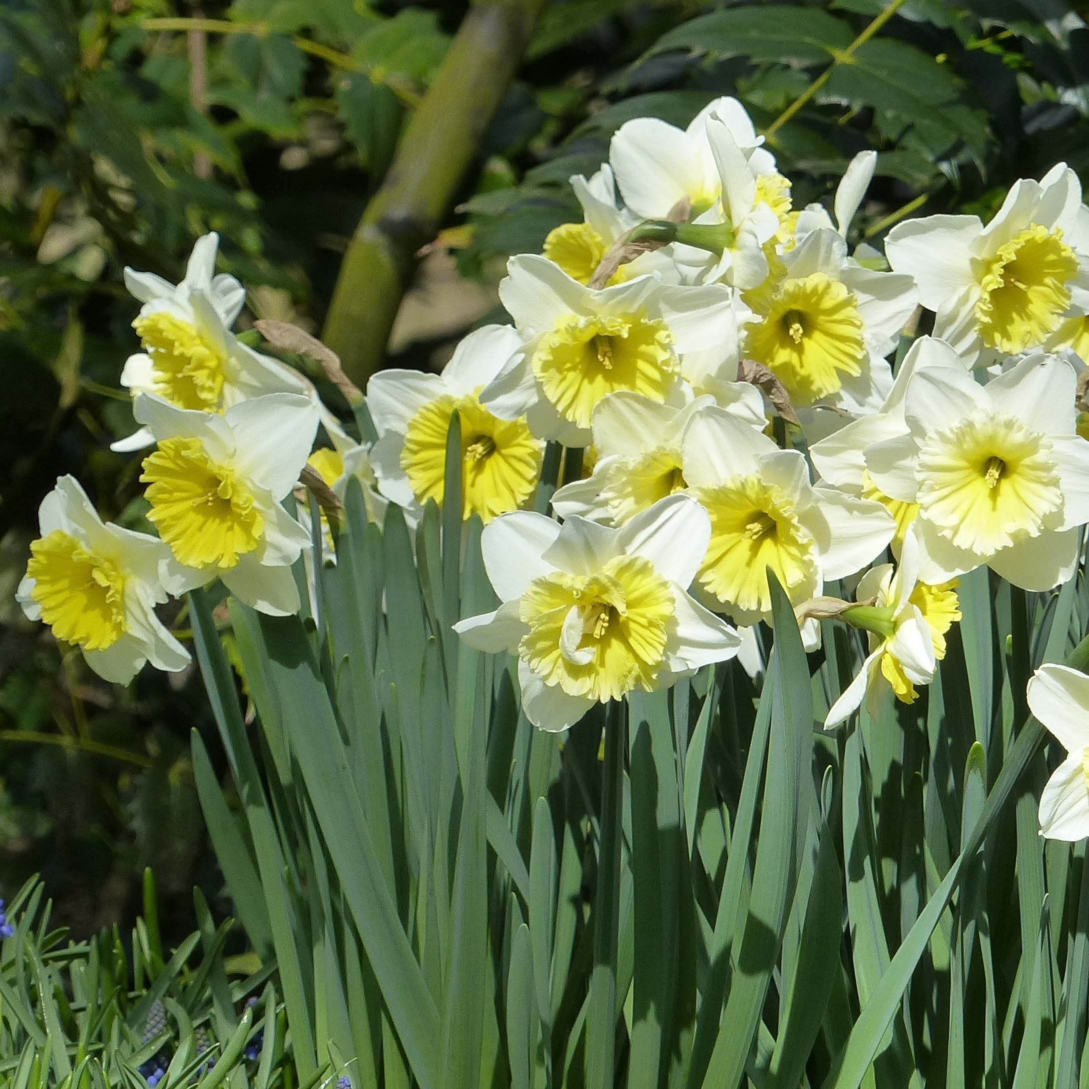 Narcissus ice follies narcisse grande couronne jaune for Bouquet de fleurs 8 mars