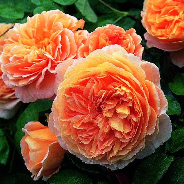 Rosa crown princess margareta auswinter rose anglaise - Bouquet de fleurs en anglais ...