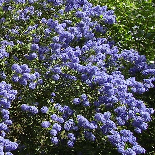 ceanothus thyrsiflorus repens lilas de californie. Black Bedroom Furniture Sets. Home Design Ideas