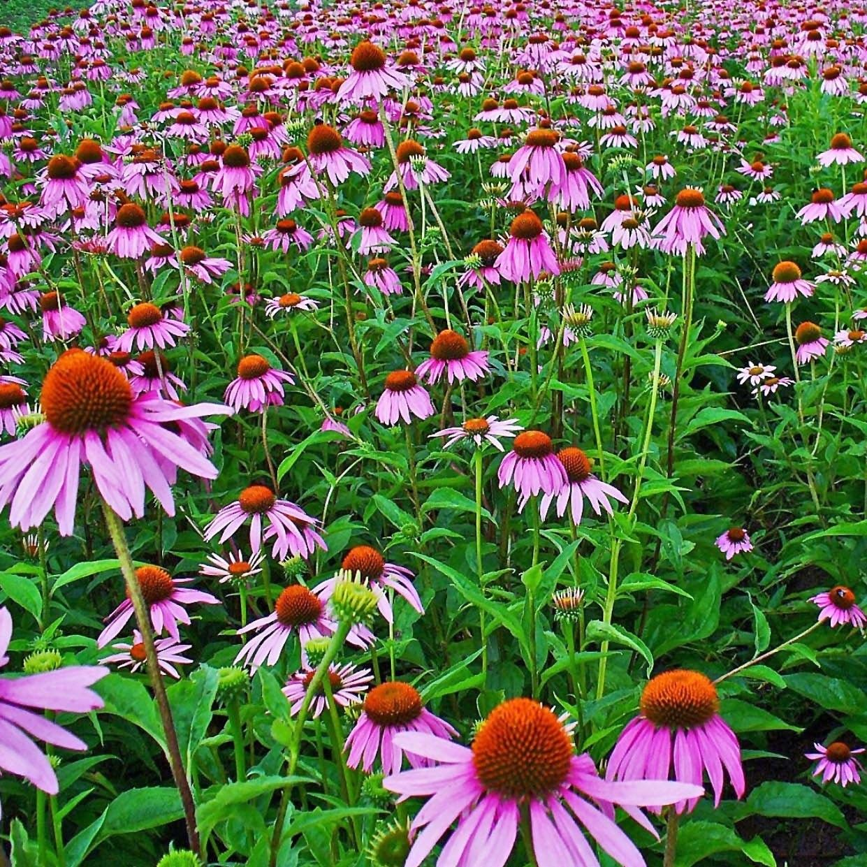 echinacea purpurea echinacea purpurea rudbeckia pourpre grandes fleurs roses et c ur brun. Black Bedroom Furniture Sets. Home Design Ideas