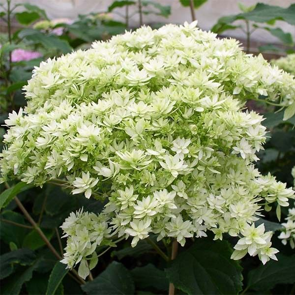 hydrangea arborescens hayes starbust hortensia blanc fleurs doubles. Black Bedroom Furniture Sets. Home Design Ideas