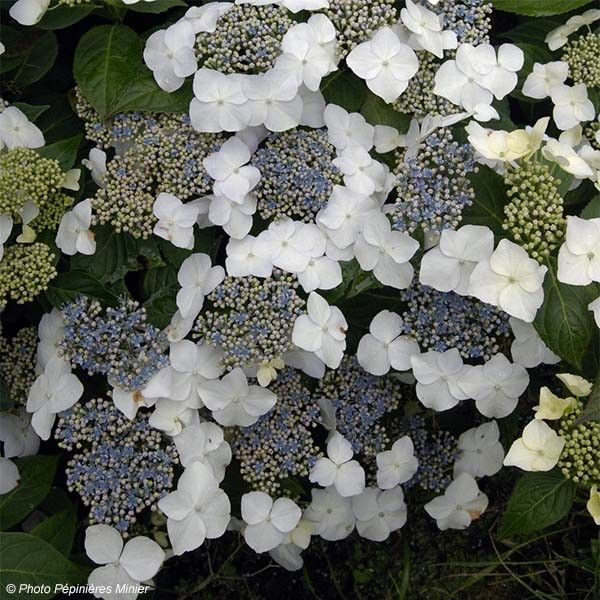 hydrangea macrophylla great star hortensia blanc bleu. Black Bedroom Furniture Sets. Home Design Ideas