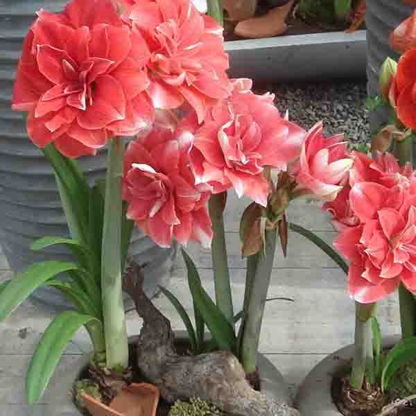 Amaryllis double dream hippeastrum for Fleurs a bulbe amaryllis