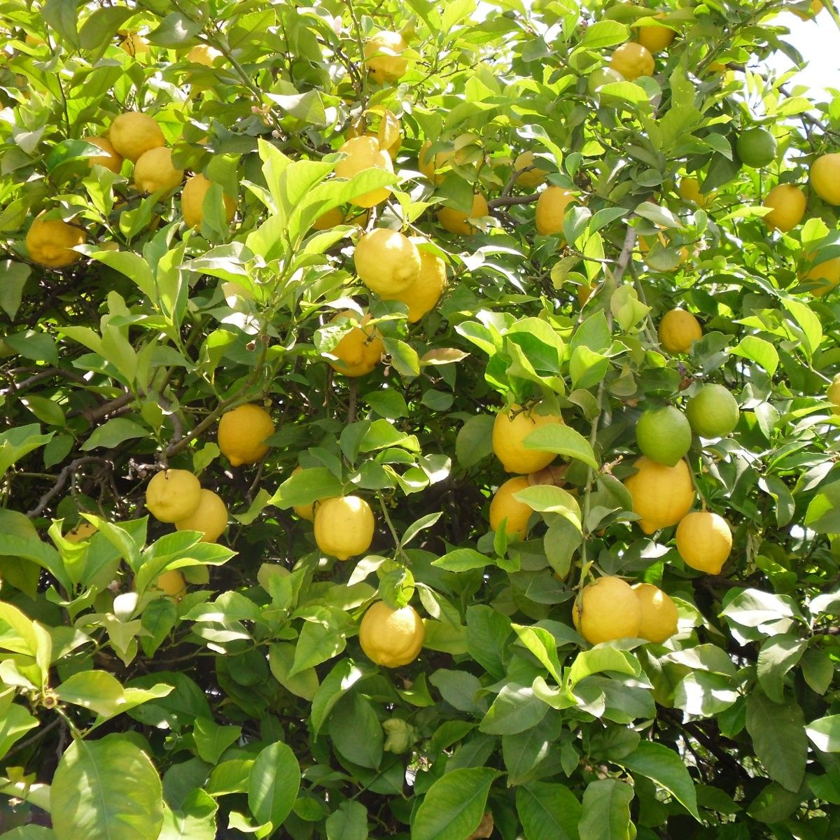 Citronnier des 4 saisons citrus limon agrume for Jardin citronnier