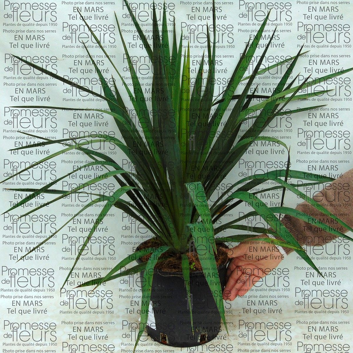 yucca gloriosa in pot the hippest pics. Black Bedroom Furniture Sets. Home Design Ideas