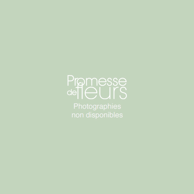Rose trémière - Alcea rosea Mars Magic