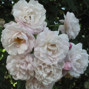 Rosier Blush Noisette