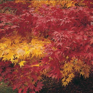 Acer Autumn Coloured Hybrids Mixed