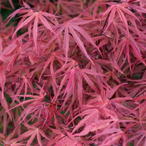 Erable du Japon - Acer palmatum Red Pygmy