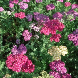 Achillée - Achillea millefolium Saucy Seduction®