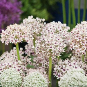 Ail d'ornement - Allium Silver Spring