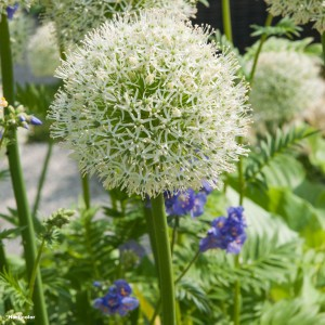 Ail d'ornement - Allium stipitatum White Giant