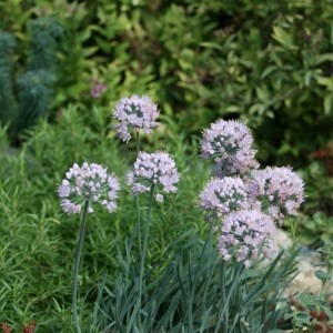 Ail d'ornement - Allium senescens ssp. montanum