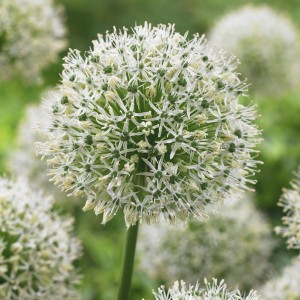 Allium Mount Everest - Ail d'ornement