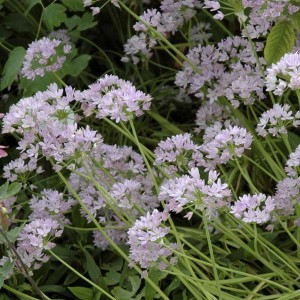 Ail d'ornement - Allium unifolium