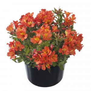Alstroemeria Summer Holiday - Lys des Incas