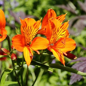 Alstroemeria aurea Orange King - Lys des Incas