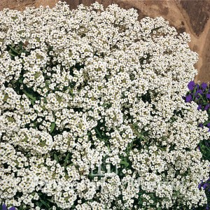 Graines d'Alyssum Carpet Of Snow - Alysse odorant