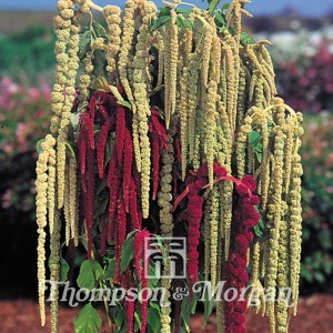 Graines d'Amaranthus caudatus Pony Tails Mixed - Amarante-queue-de-renard