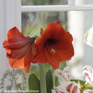 Amaryllis Red Lion - Hippeastrum rouge profond.