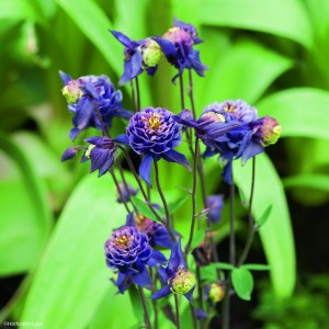 Ancolie Winky Double Dark Blue White - Aquilegia vulgaris