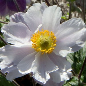 Anemone Dreaming Swan - Anémone japonaise