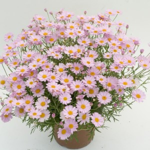 Anthémis Daisy Crazy® Summit Pink - Chrysanthème frutescent
