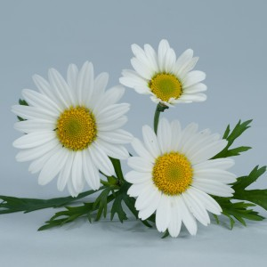 Anthémis Everest®  blanc - Argyranthemum frutescens