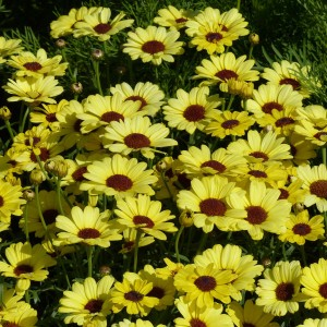 Anthémis Grandaisy Bright Yellow - Argyranthemum