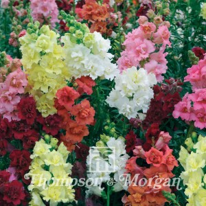 Graines de Muflier Double Madame Butterfly Mixed - Antirrhinum majus