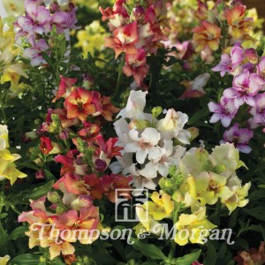 Graines de Muflier hybride Reminiscent Mixed F1 -  Antirrhinum
