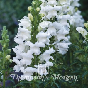 Graines de Muflier Royal Bride - Antirrhinum majus