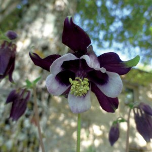 Ancolie William Guiness - Aquilegia vulgaris William Guiness
