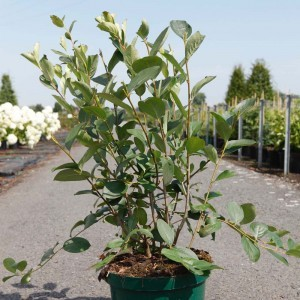 Aronia melanocarpa Autumn Magic NOBLE®