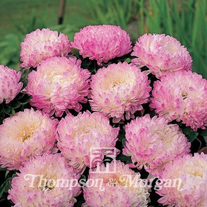 Aster Pink Tower