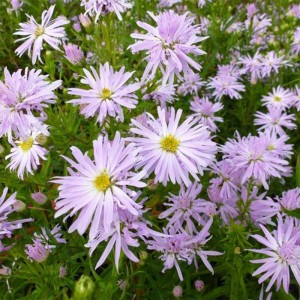 Aster Rosenquarz - Aster grand d'automne.