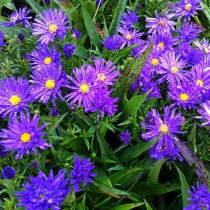 Aster dumosus Augenweide - Aster nain d'automne rose violacé
