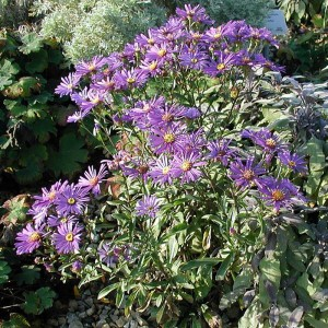 Aster dumosus Early Blue